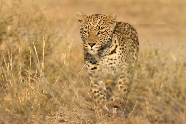 Leopard Kgalagadi Transfrontier NP SA AR-047