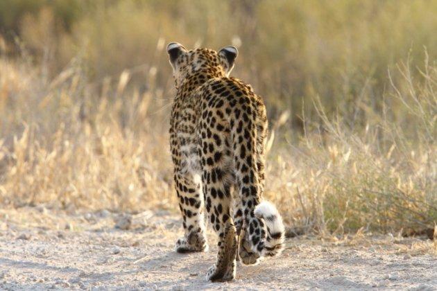 Leopard Kgalagadi Transfrontier NP SA AR-050