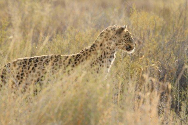 Leopard Kgalagadi Transfrontier NP SA AR-058