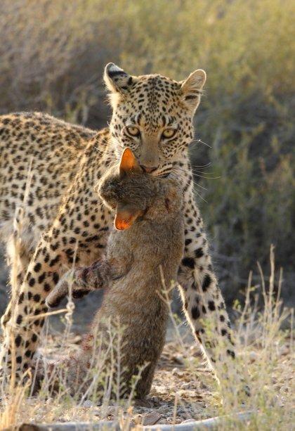 Leopard Kgalagadi Transfrontier NP SA AR-068