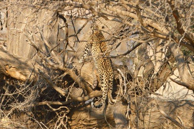Leopard Kgalagadi Transfrontier NP SA AR-171