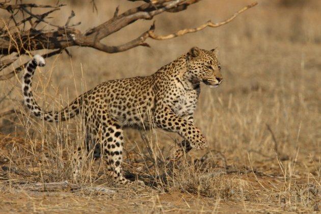 Leopard Kgalagadi Transfrontier NP SA AR-237