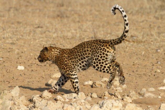 Leopard Kgalagadi Transfrontier NP SA AR-271