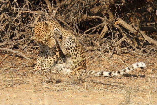 Leopard Kgalagadi Transfrontier NP SA AR-290