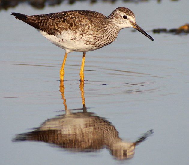 Lesser Yellowlegs on the East Pond of Jamaica Bay Wildlife Refuge