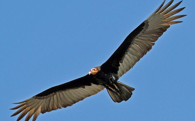 An odd foraging behavior for a Vulture