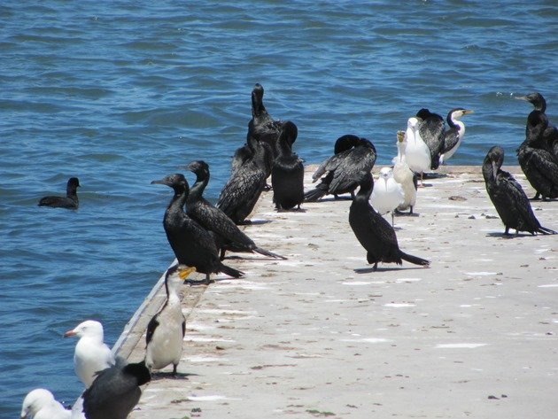Little Black Cormorant,Little Pied Cormorant & Silver Gull