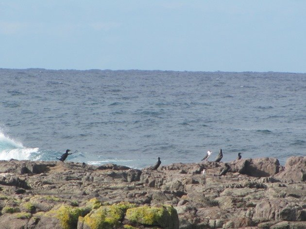 Little Blacks & Little Pied Cormorant