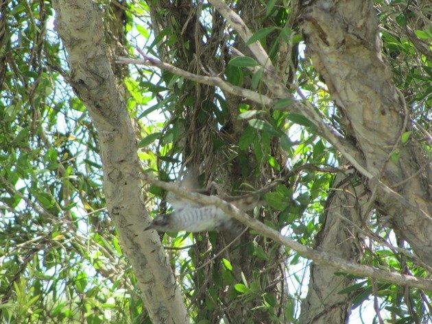 Little Bronze-Cuckoo (2)