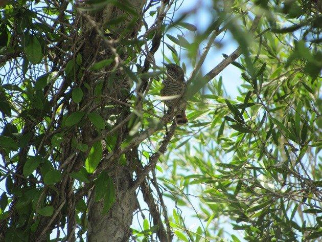 Little Bronze-Cuckoo (3)