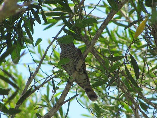 Little Bronze-Cuckoo (4)