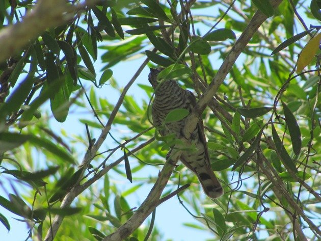 Little Bronze-Cuckoo (5)