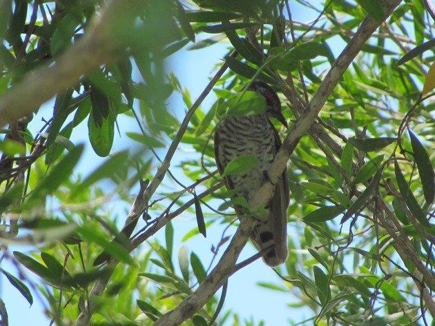 Little Bronze-Cuckoo (6)
