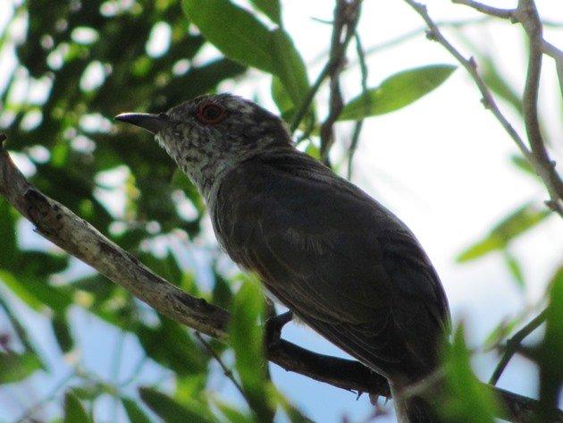 Little Bronze-Cuckoo (7)