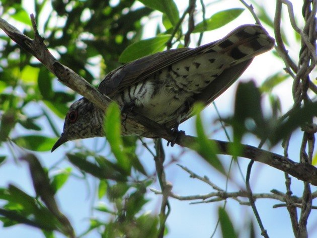 Little Bronze-Cuckoo (8)