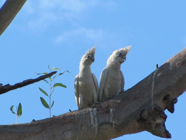 Little Corellas (2)