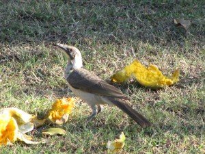 Little Friarbird (2)