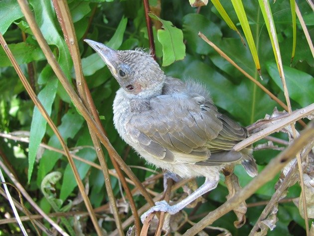 Little Friarbird chick (2)