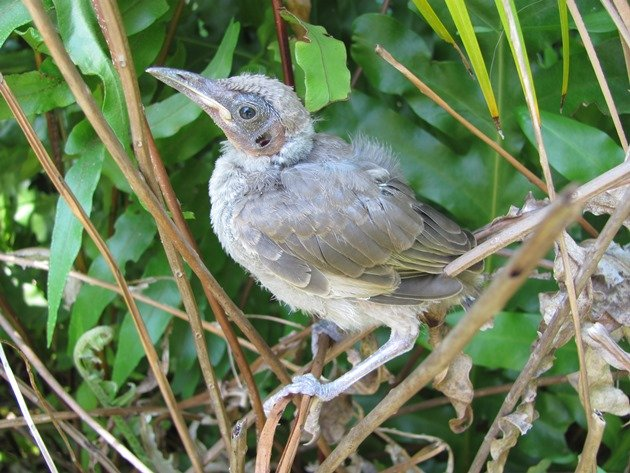 Little Friarbird chick