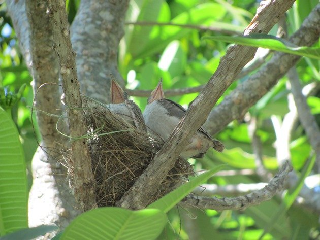 Little Friarbirds in nest (3)