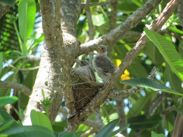 Little Friarbirds in nest