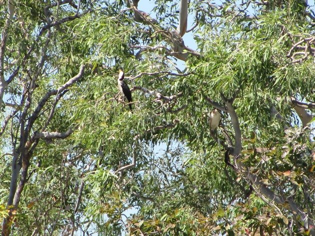 Little Pied Cormorant & Nankeen Night Heron