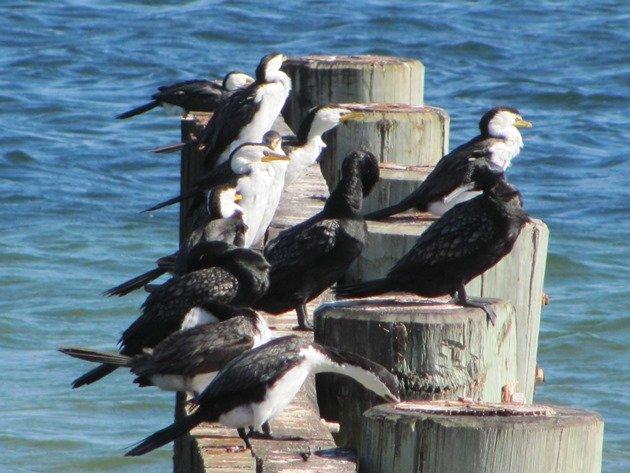 Little Pied & Little Black Cormorants