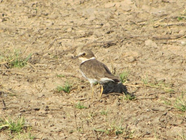 Little Ringed Plover (10)