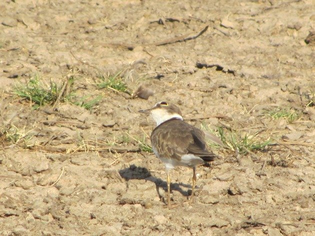 Little Ringed Plover (5)