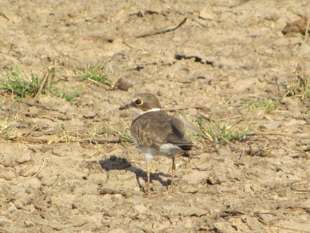 Little Ringed Plover (6)