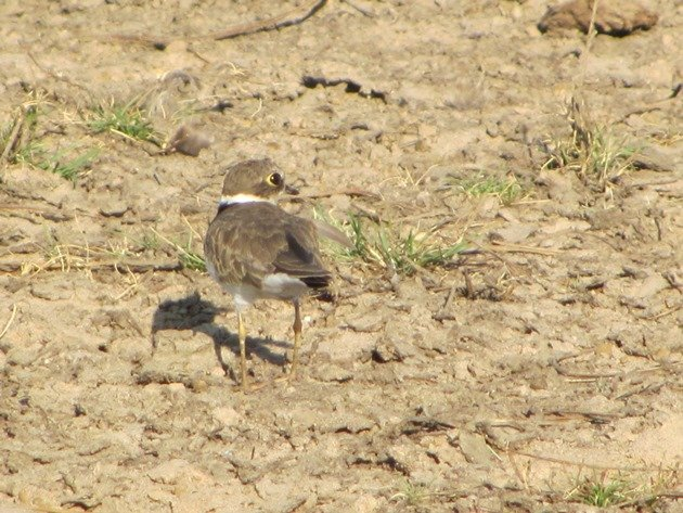 Little Ringed Plover (7)