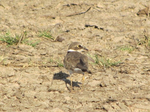 Little Ringed Plover (9)