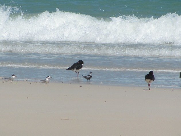 Little Terns, WW Black Tern and Pied Oystercatchers