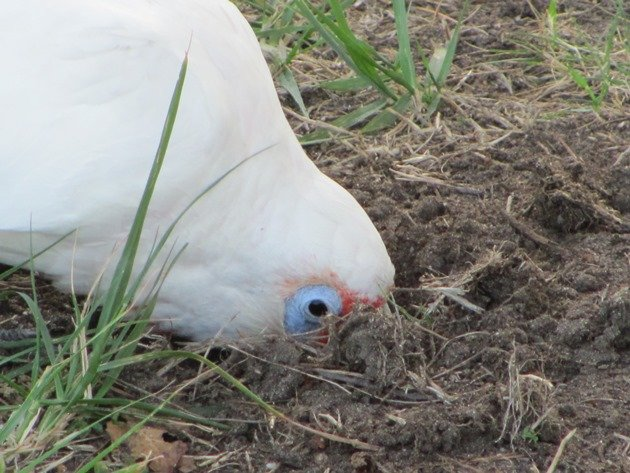Long-billed Corella (2)