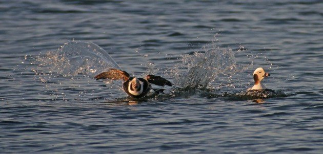Long-tailed Duck landing