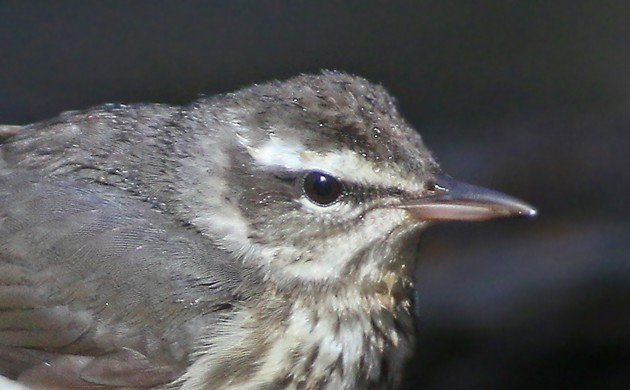 Louisiana Waterthrush portrait