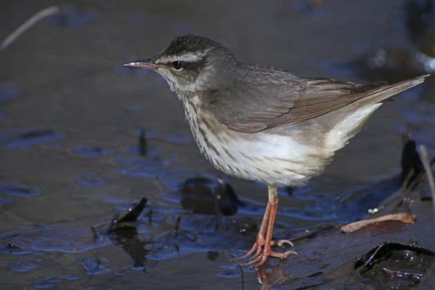 Louisiana Waterthrush uncropped