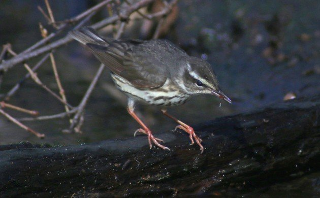 Louisiana Waterthrush with prey