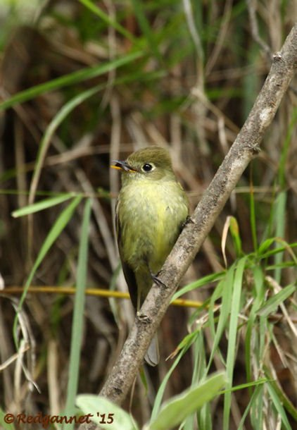 MEX 24May15 Cordilleran Flycatcher 02