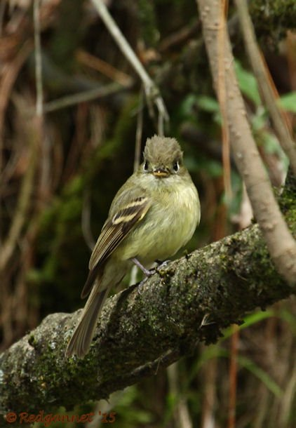 MEX 24May15 Cordilleran Flycatcher 03