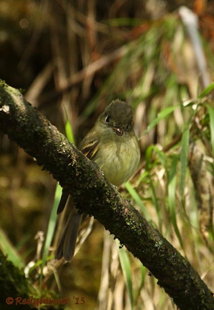 MEX 24May15 Cordilleran Flycatcher 04