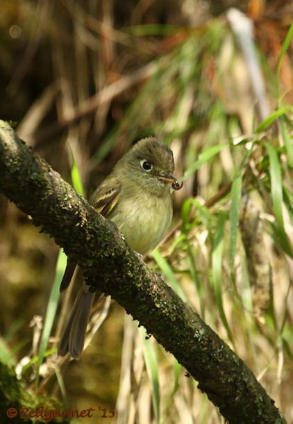 MEX 24May15 Cordilleran Flycatcher 05