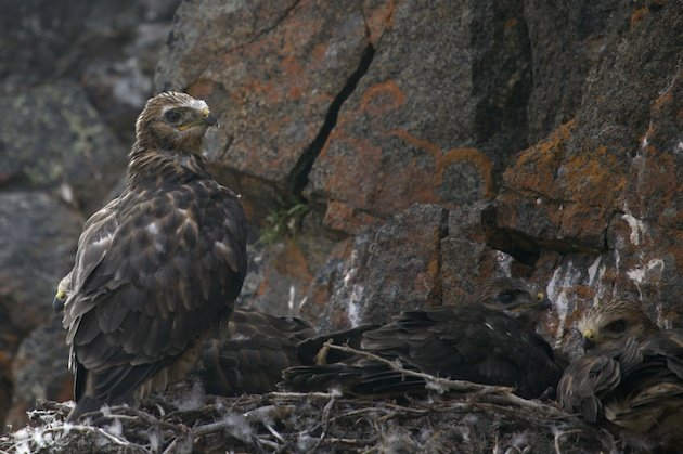 Rough-legged Hawk young in nest