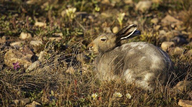 Arctic Hare (Lepus arcticus) in summer