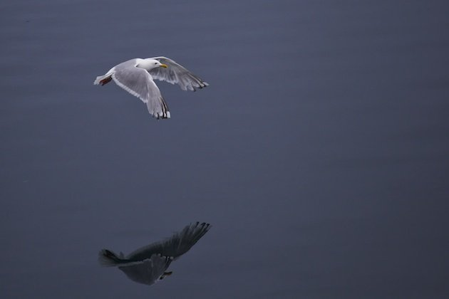 Thayer's Gull (Larus thayerii)