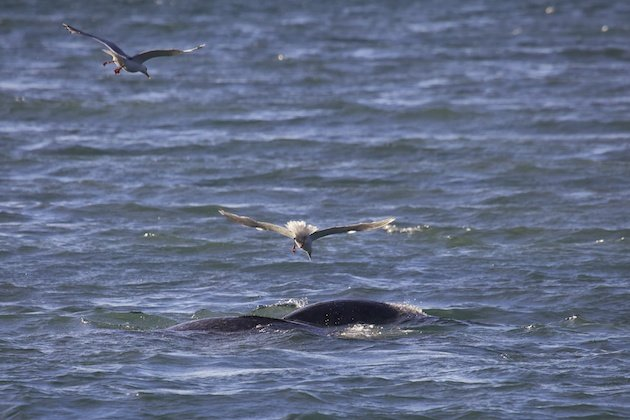 Thayer's Gull with Narwhal