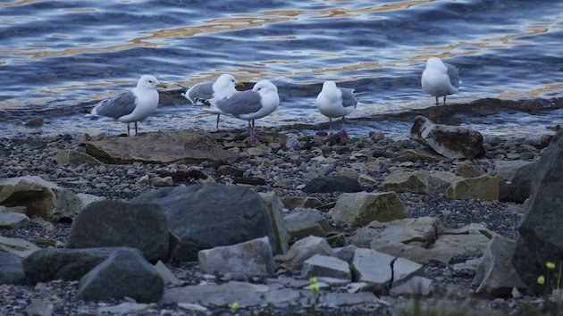 Thayer's Gulls on beach.