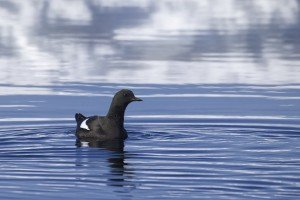 Swimming Black Guillemot