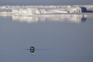 Ringed Seal at the Floe Edge.