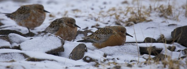 Cold Red Knots, Calidris canutus